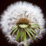 タンポポの綿毛(ハゲのイメージ写真)